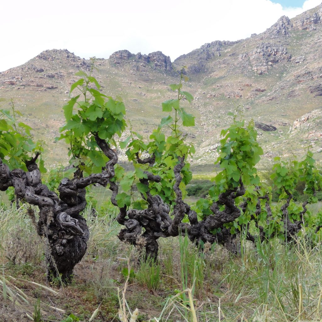 Swartland bush vines